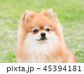 ポメラニアン 犬 小型犬の写真 45394181