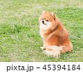 ポメラニアン 犬 お座りの写真 45394184