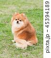 ポメラニアン 犬 お座りの写真 45394189