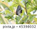 蝶 アカボシゴマダラ チョウ目の写真 45398032