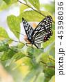 蝶 アカボシゴマダラ チョウ目の写真 45398036