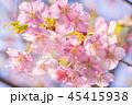 桜 河津桜 花の写真 45415938