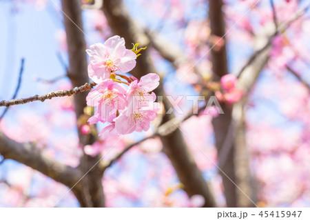 【神奈川県】河津桜 45415947