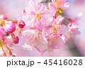 河津桜 花 春の写真 45416028