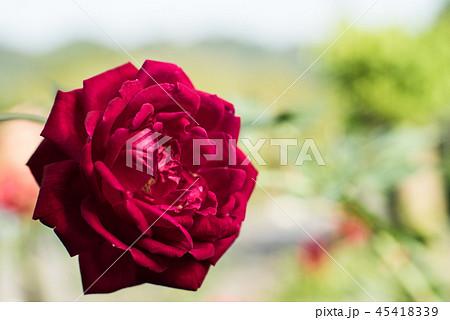 花 フラワー お花 45418339
