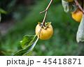 かき カキ 柿の写真 45418871