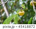 かき カキ 柿の写真 45418872