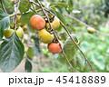 かき カキ 柿の写真 45418889