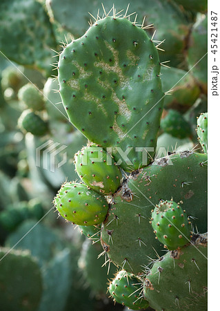 Opuntia, edible plant called prickly pear 45421487