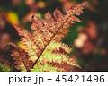 シダ 葉 カラーの写真 45421496