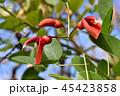 アメリカディゴ 花 アメリカデイゴの写真 45423858