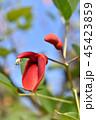 アメリカディゴ 花 アメリカデイゴの写真 45423859