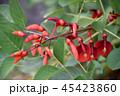 アメリカディゴ 花 アメリカデイゴの写真 45423860