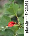 アメリカディゴ 花 アメリカデイゴの写真 45423861