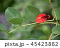 アメリカディゴ 花 アメリカデイゴの写真 45423862