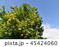 はっさく 果実 フルーツの写真 45424060