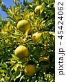 はっさく 果実 フルーツの写真 45424062