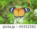 蝶々 蝶 昆虫の写真 45432382