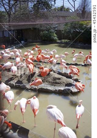 神戸市王子動物園のフラミンゴ 45432591