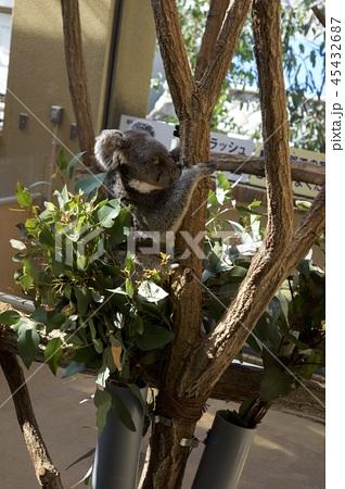 神戸市王子動物園のコアラ 45432687