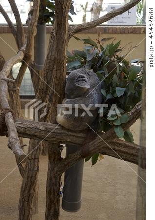 神戸市王子動物園のコアラ 45432688