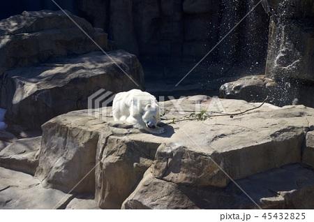 神戸市王子動物園のシロクマ 45432825