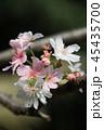 十月桜 花 桜の写真 45435700