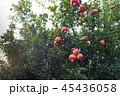 果実 果物 ザクロの写真 45436058