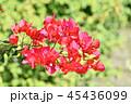 ブーゲンビリア 咲いている 開花の写真 45436099