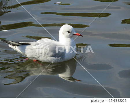 今年もやって来ました冬の渡り鳥ユリカモメ 45438305