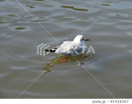 今年もやって来ました冬の渡り鳥ユリカモメ 45438307