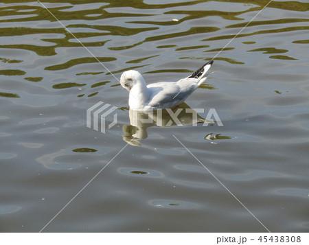 今年もやって来ました冬の渡り鳥ユリカモメ 45438308