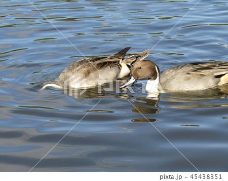 今年もやって来ました冬の渡り鳥オナガガモ 45438351