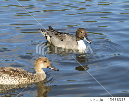 今年もやって来ました冬の渡り鳥オナガガモ 45438353