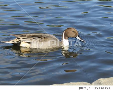 今年もやって来ました冬の渡り鳥オナガガモ 45438354