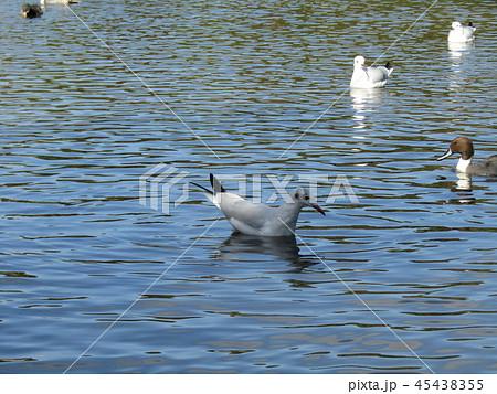 今年もやって来ました冬の渡り鳥オナガガモトユリカモメ 45438355