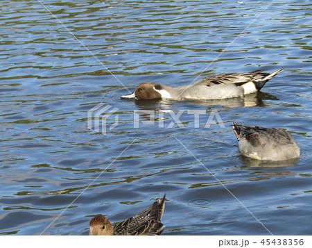 今年もやって来ました冬の渡り鳥オナガガモ 45438356