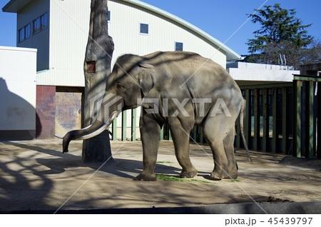 神戸市王子動物園の象 45439797
