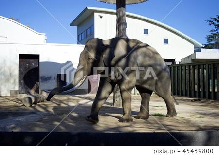 神戸市王子動物園の象 45439800