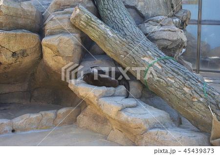 神戸市王子動物園のカワウソ 45439873