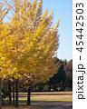 樹木 イチョウ 秋の写真 45442503
