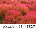コキア 紅葉 秋の写真 45445527