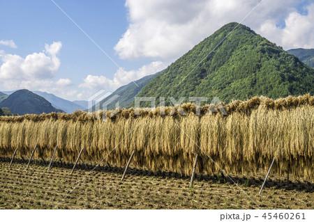 信州 長野県小県郡長和町旧中山道長久保宿近くの稲のはぜかけ 45460261