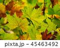 プラタナス 葉 葉っぱの写真 45463492