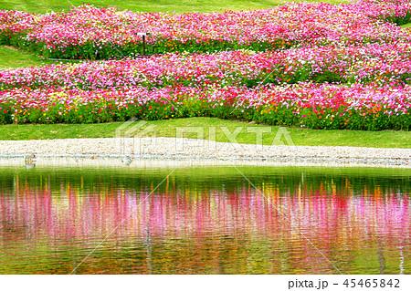 明石海峡公園のコスモス 45465842