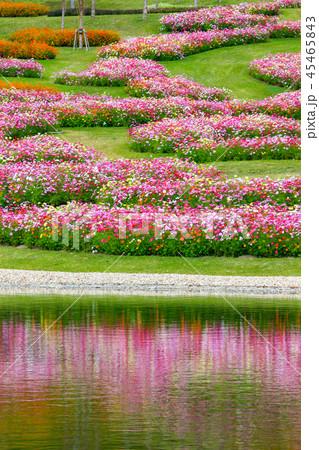 明石海峡公園のコスモス 45465843