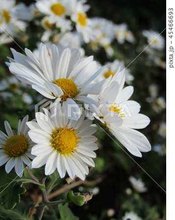 秋の花白色の小菊 45466693