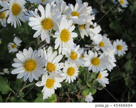 秋の花白色の小菊 45466694