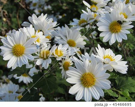 秋の花白色の小菊 45466695