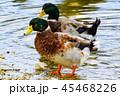 水辺の鴨 45468226